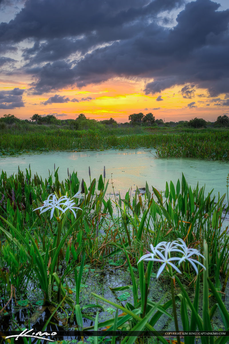 White Lily flower during sunset at Wellington
