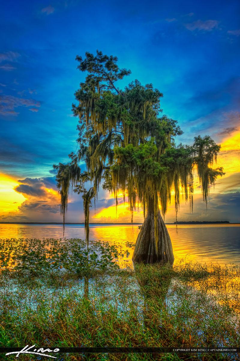 The cypress tree at Lake Istokpoga in Lake Placid, Florida at Hi