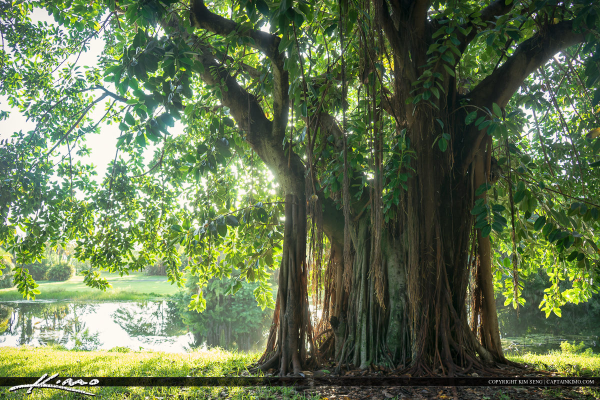 Rubber Tree at the Dreher Park in WPB