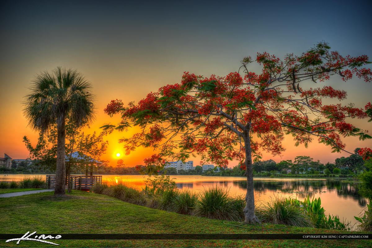 Royal Poinciana Tree Port St Lucie Florida