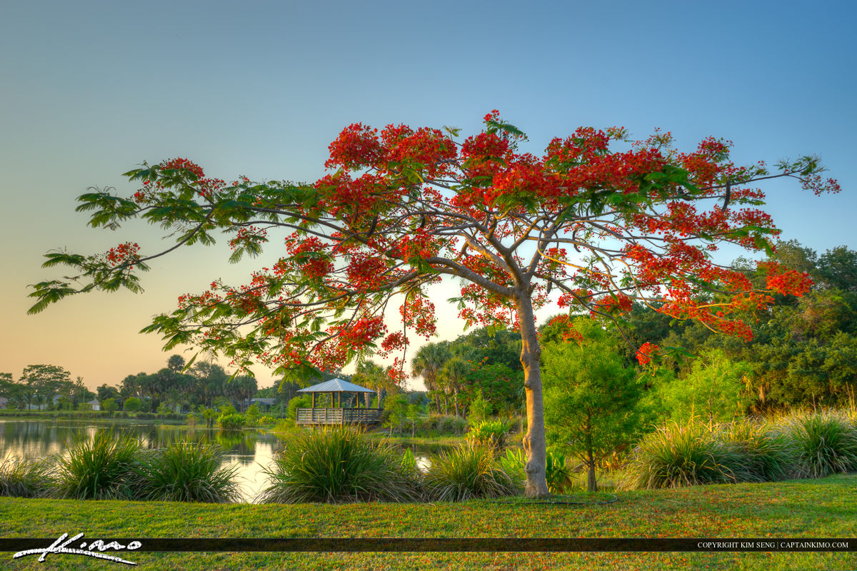 Royal Poinciana tree in St. Lucie County Florida