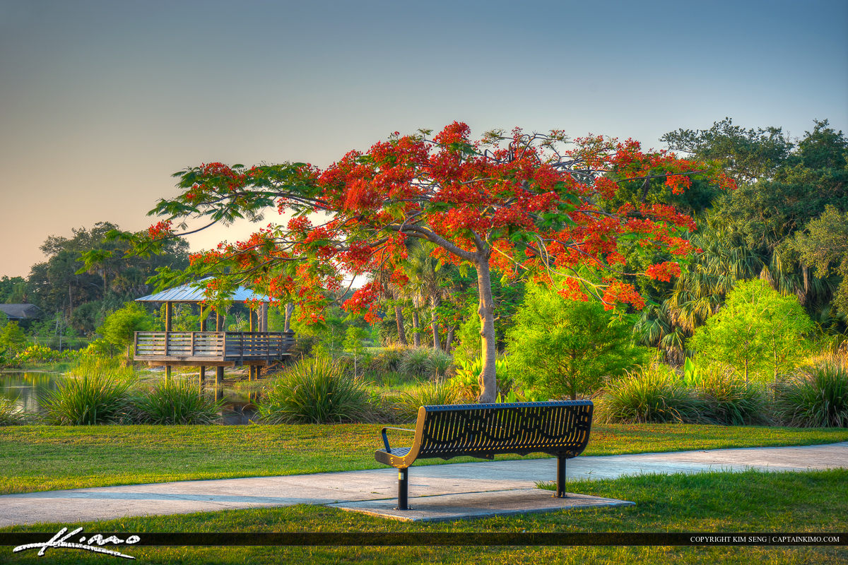 Royal Poinciana tree at Park in Port St. Lucie Florida