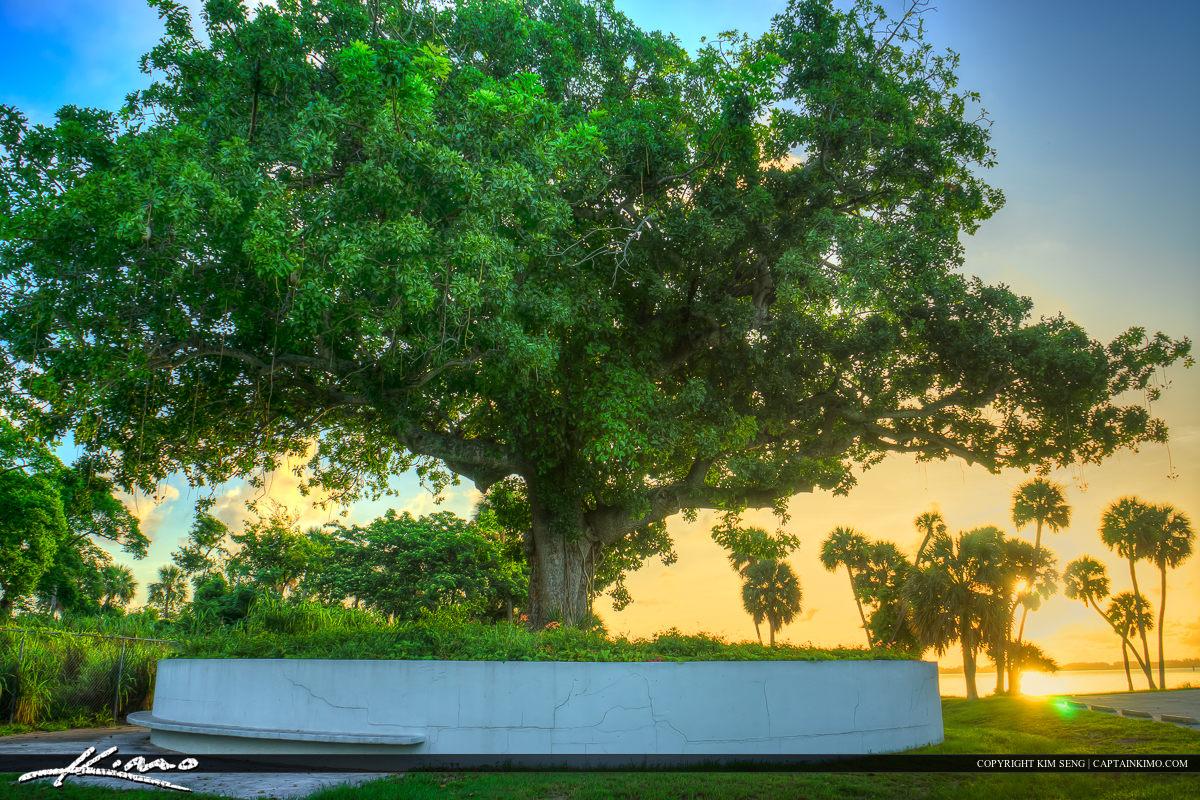 Large Tree at Indian River Park Jensen Beach