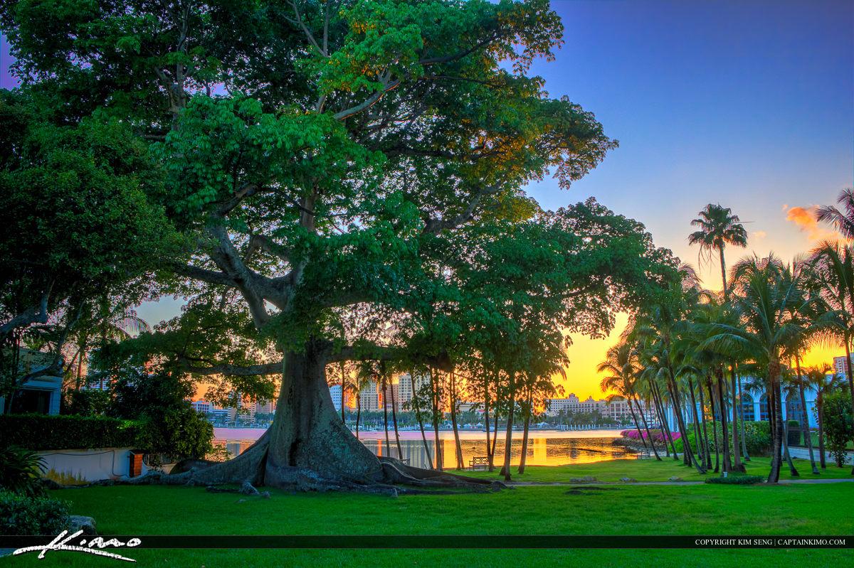 Kapok Tree at Flagler Museum West Palm Beach