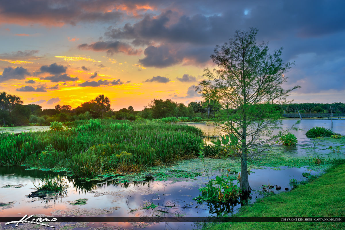 Cypress tree at the marsh sunset over Wellington Florida