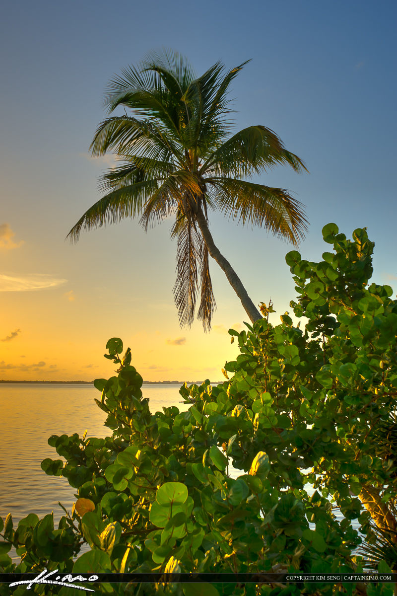 Coconut Tree at Indian River Park Jensen Beach Florida
