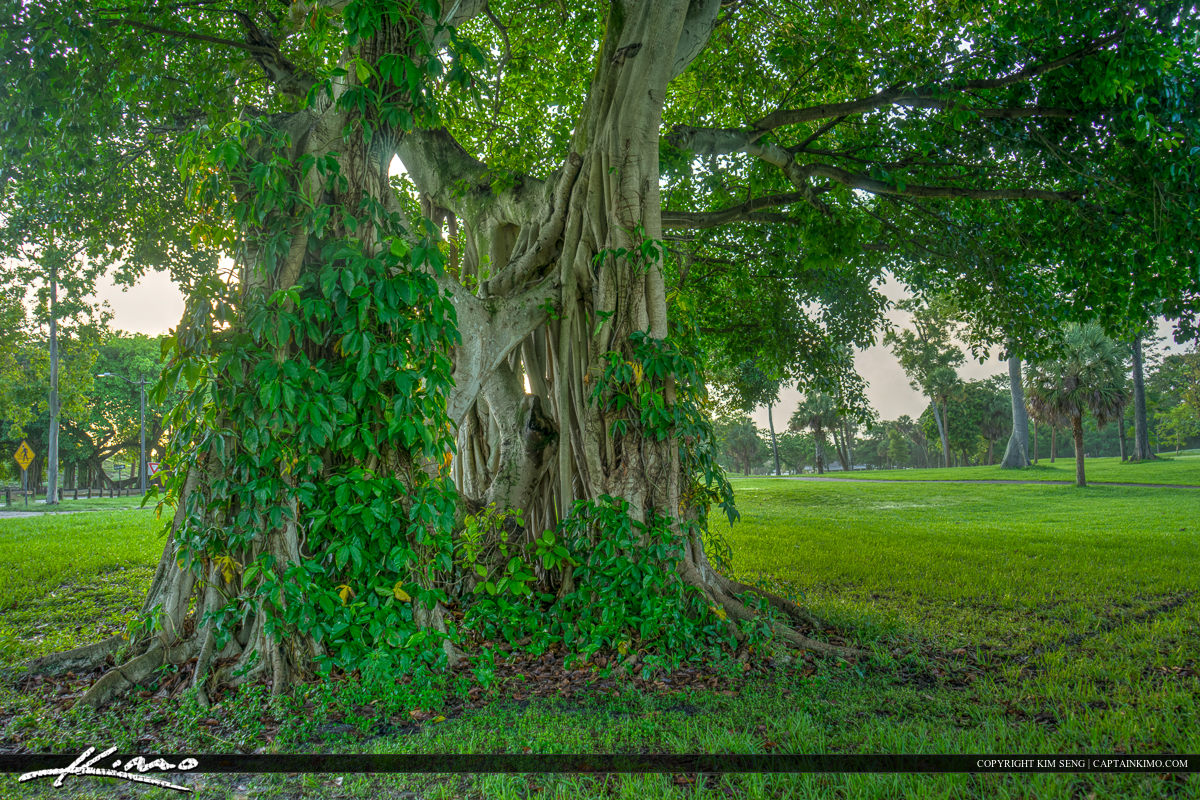 Banyan Tree Dreher Park with Many Leaves
