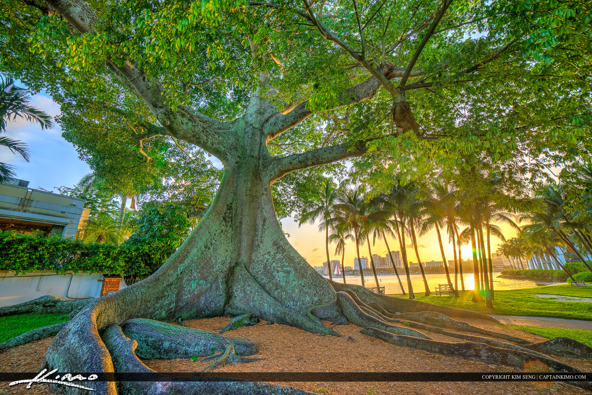 West Palm Beach Kapok Banyan Tree Flagler