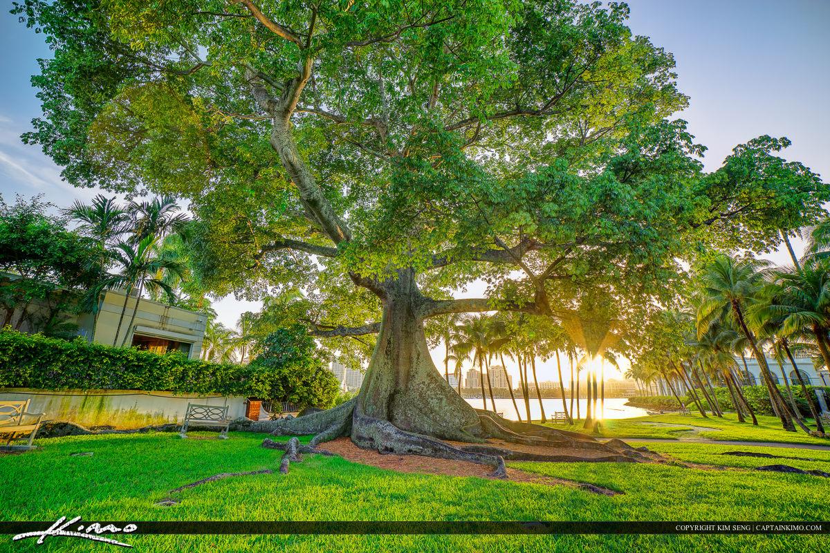 Kapok Tree at Palm Beach Island Flagler Museum