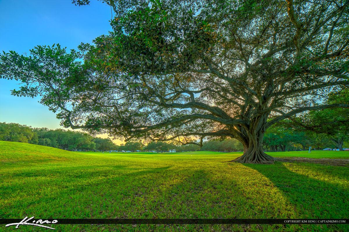 Topeekeegee Yugnee Park Hollywood Florida Banyan Tree from a Dis