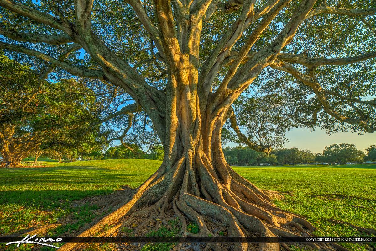 Topeekeegee Yugnee Park Hollywood Florida Banyan Tree Large Root