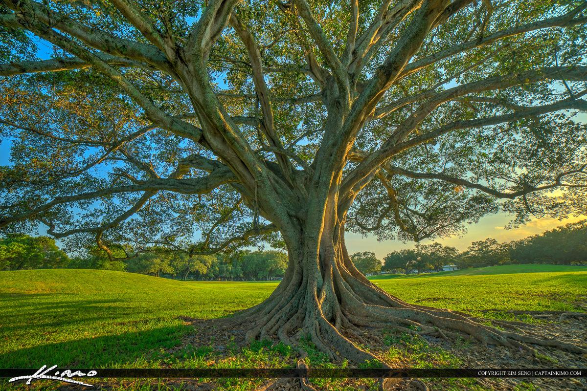 Topeekeegee Yugnee Park Hollywood Florida Banyan Tree Sunlight