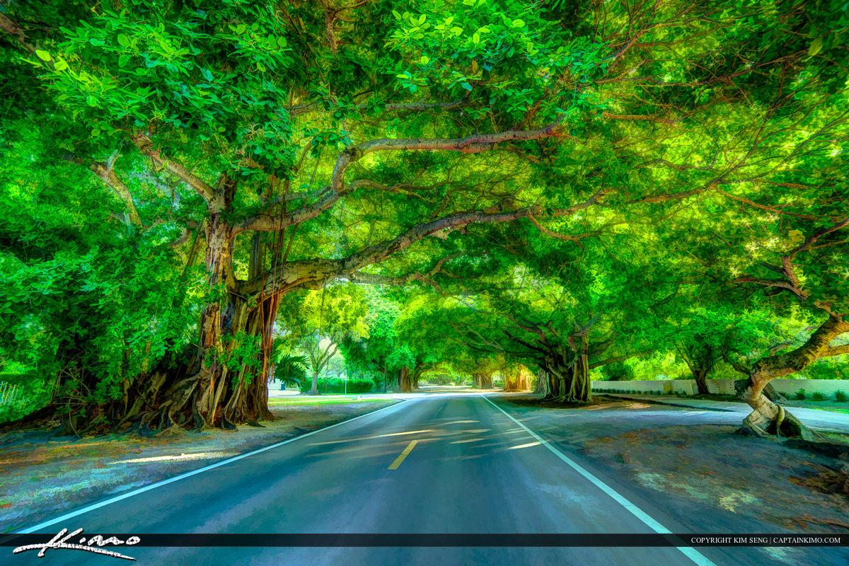 Coral Gables Florida Old Cutler Road Banyan Tree
