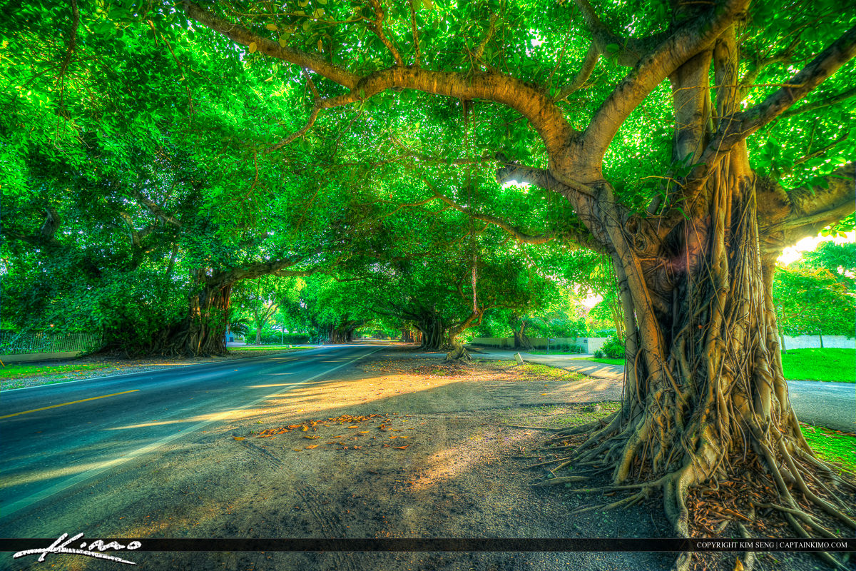 Coral Gables Florida Banyan Tree at Old Cutler Road