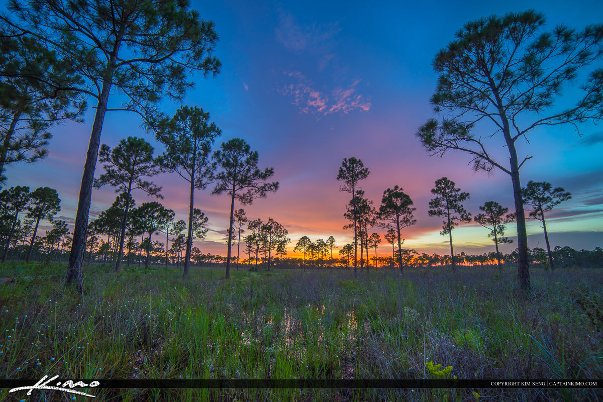 Sweetbay Pine Forest Florida Wetlands