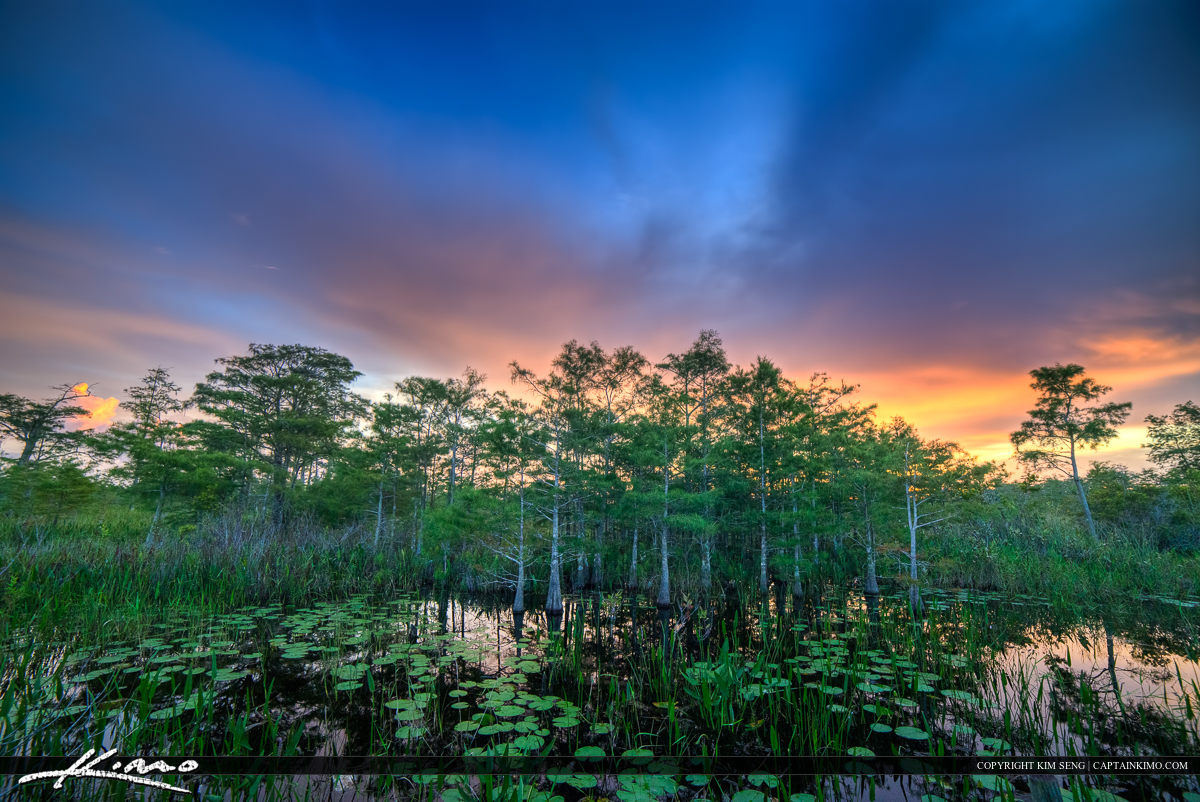 Cypress Tree and Lilypads the Water Florida Wetlands