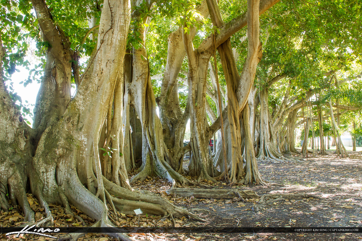 Edison and Ford Winter Estates Fort Myers Florida Banyan Tree Ro