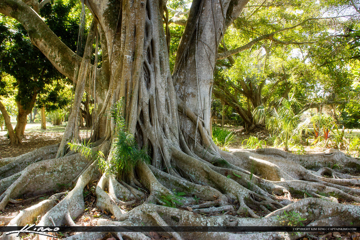 Edison and Ford Winter Estates Fort Myers Florida Banyan Tree Ga