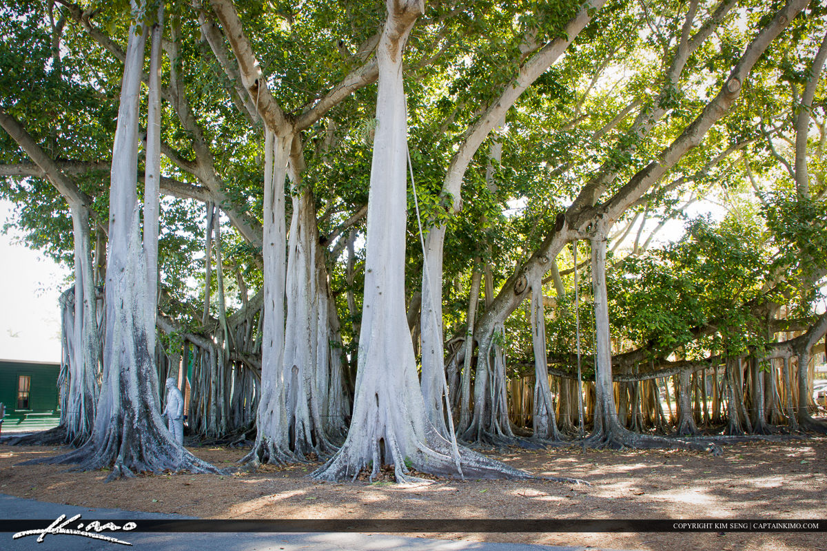 Edison and Ford Winter Estates Fort Myers Florida Large Banyan T