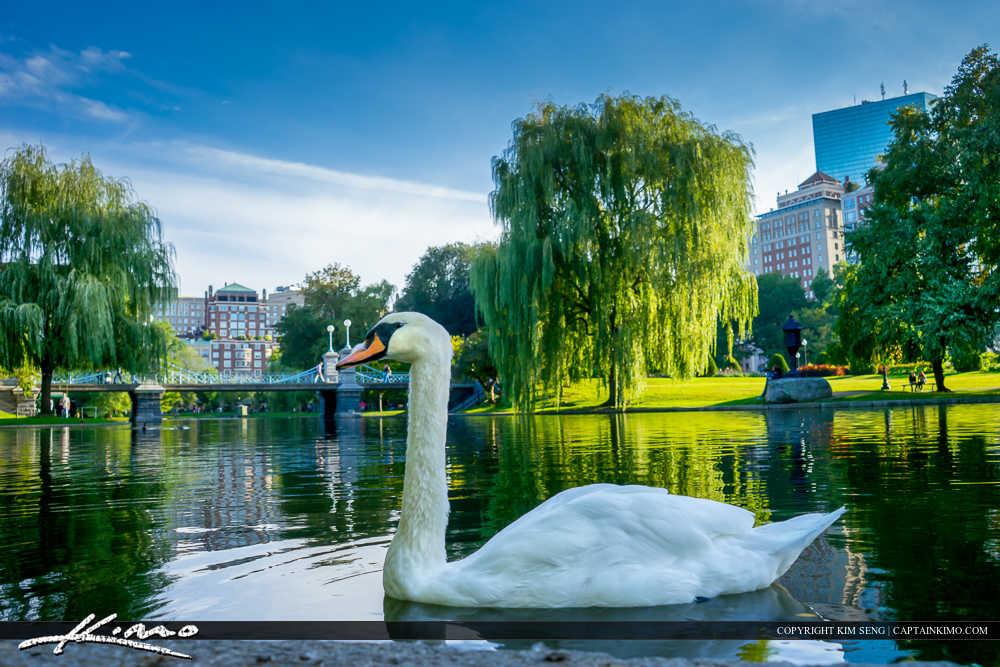 Swan at Boston Public Garden Lake Massachusetts
