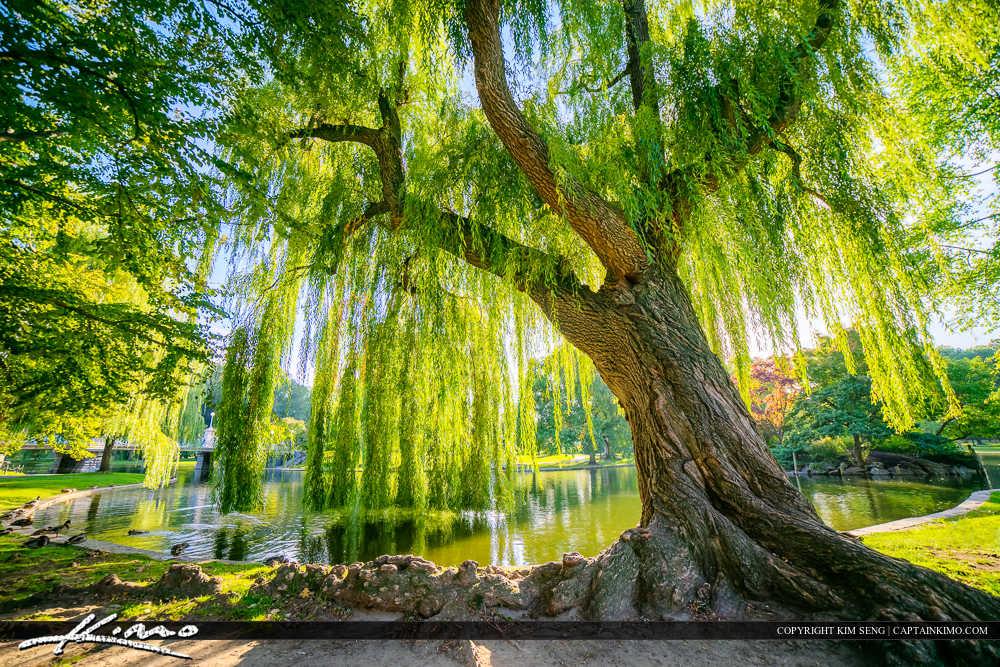 Wispering Willow Tree Boston Public Garden