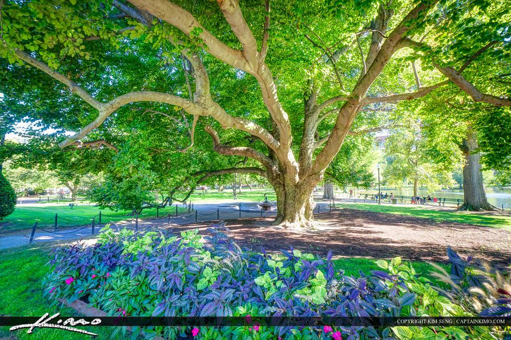 Large Tree Boston Public Garden Massachusetts
