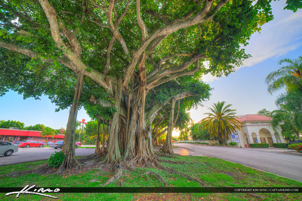Royal Palm Beach Florida Banyan Tree Corner