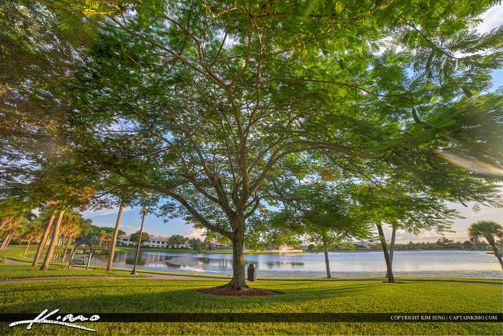 Royal Palm Beach Florida Poinciana Tree