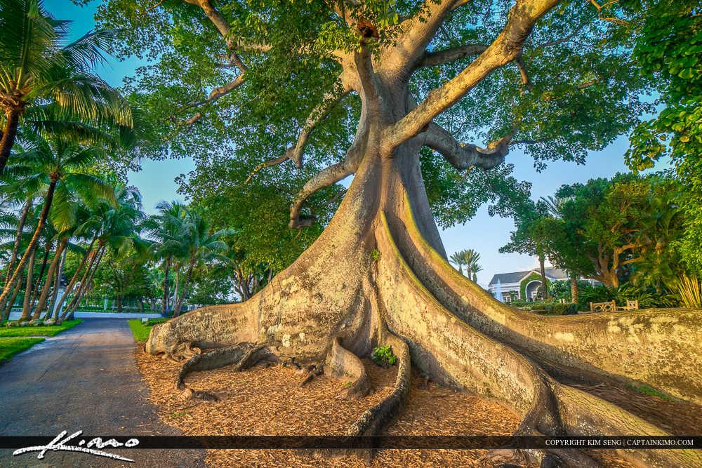Large Kapok Tree Palm Beach Island