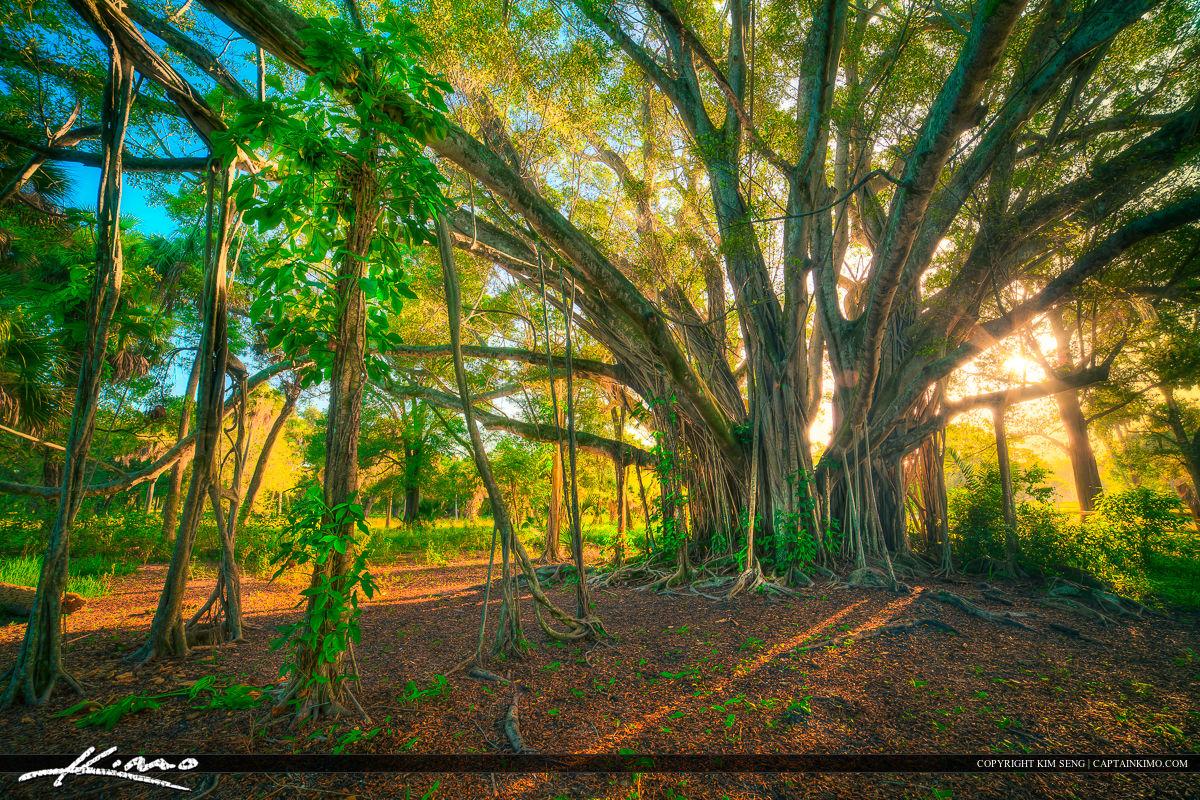 Banyan Tree with Beautiful Golden Light