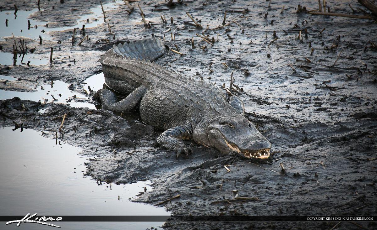 Paynes Prairie Gainesville Florida Mudding Gator
