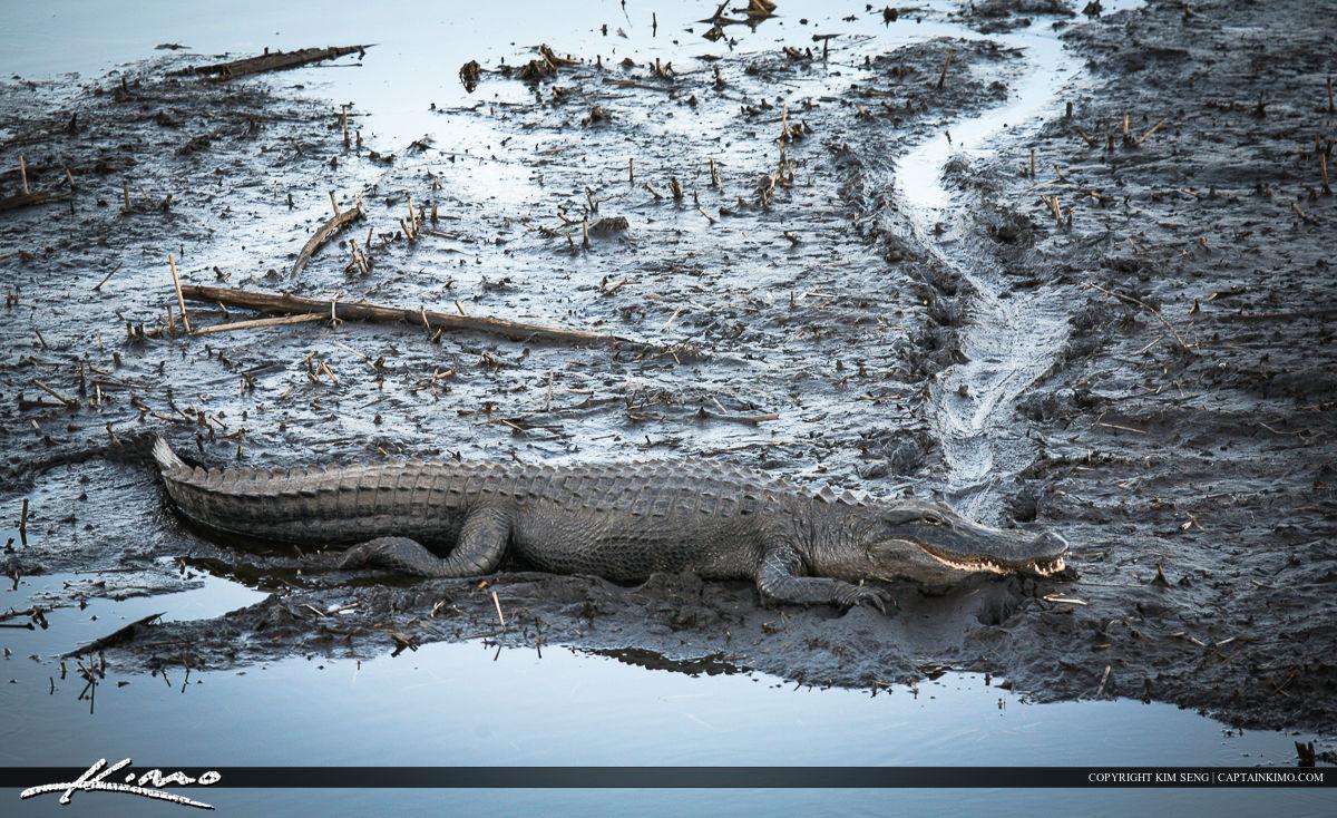 Paynes Prairie Gainesville Florida Gator in Mud