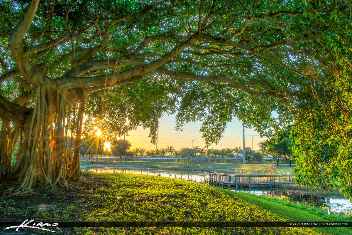 Banyan Tree at Dreher Park in West Palm Beach FL
