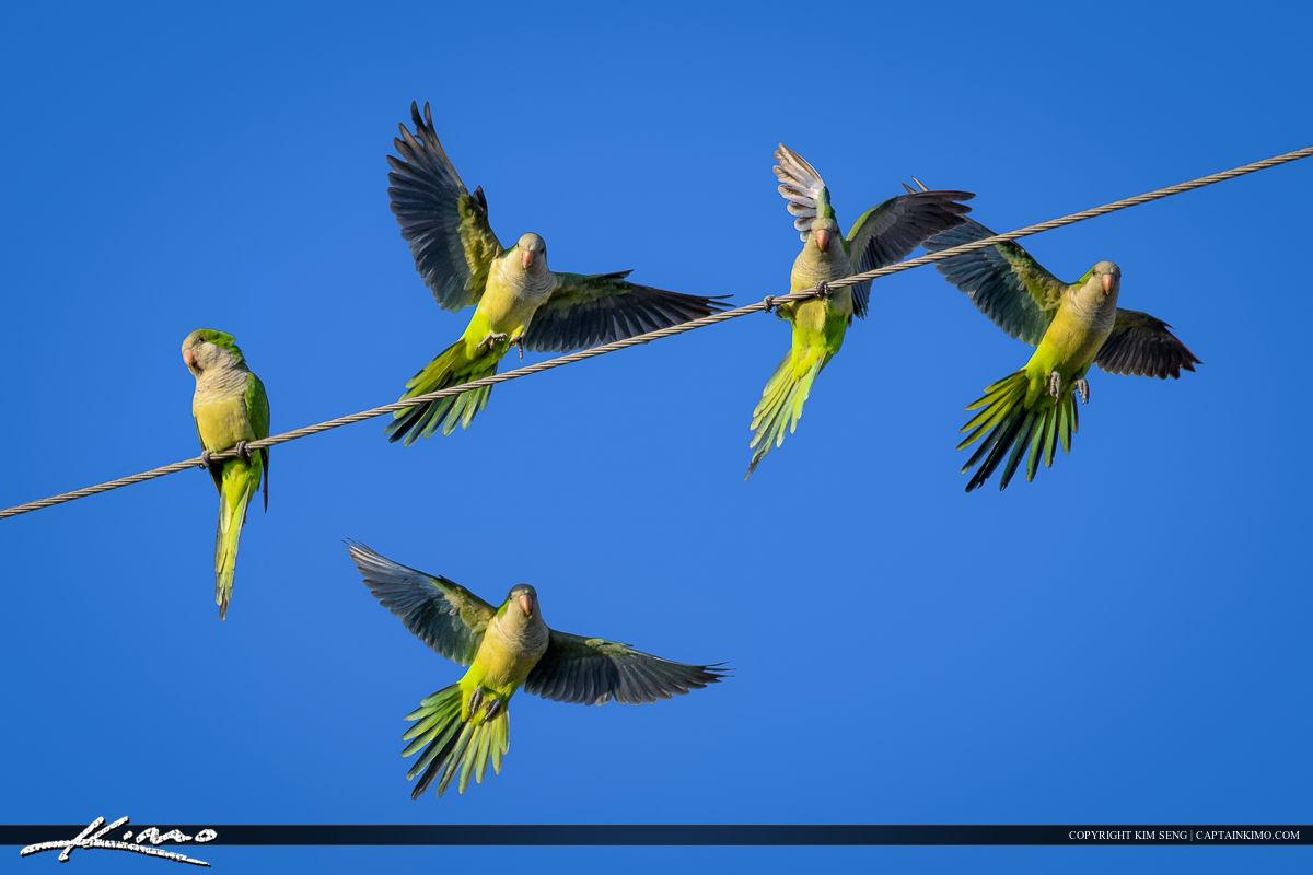 Parrots in Flight Landing on Wire