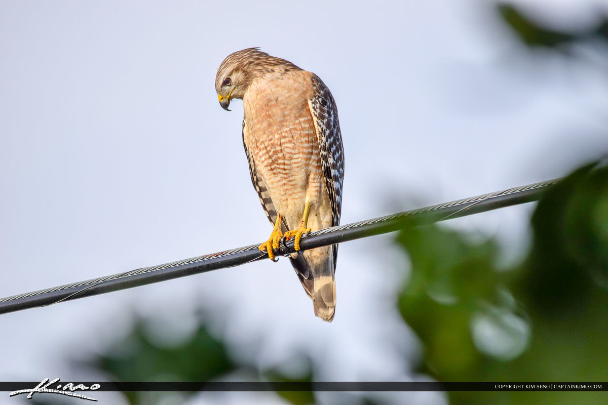 Red-shouldered Hawk On Wire Watching Birds