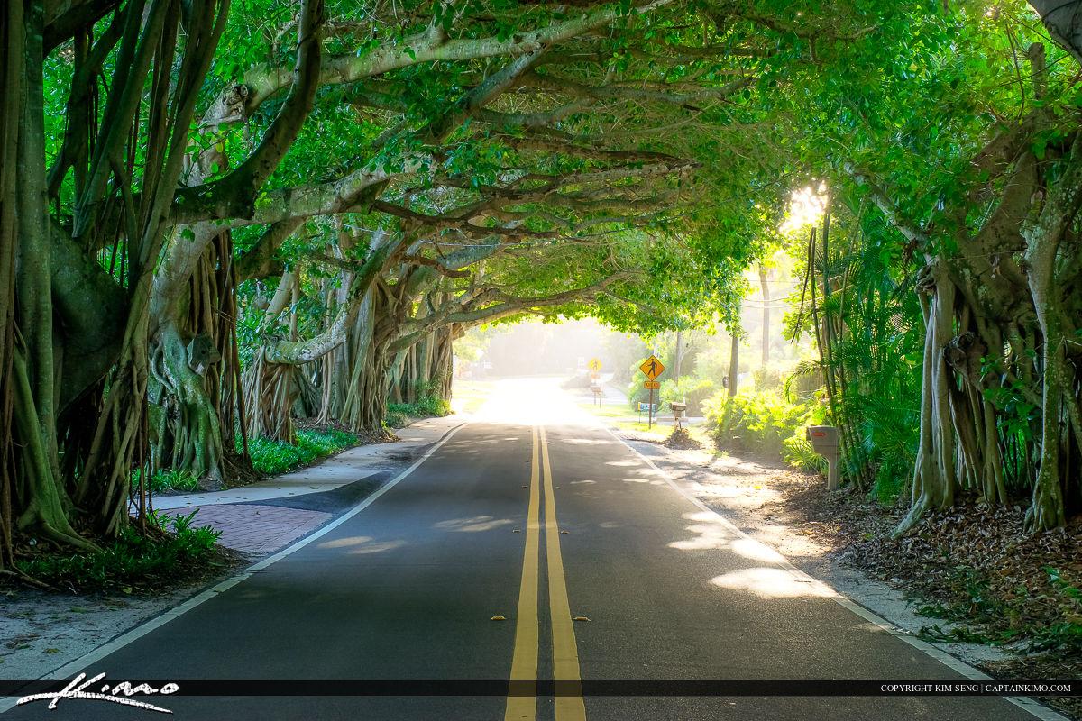 Banyan Tree Covered Road Stuart Florida