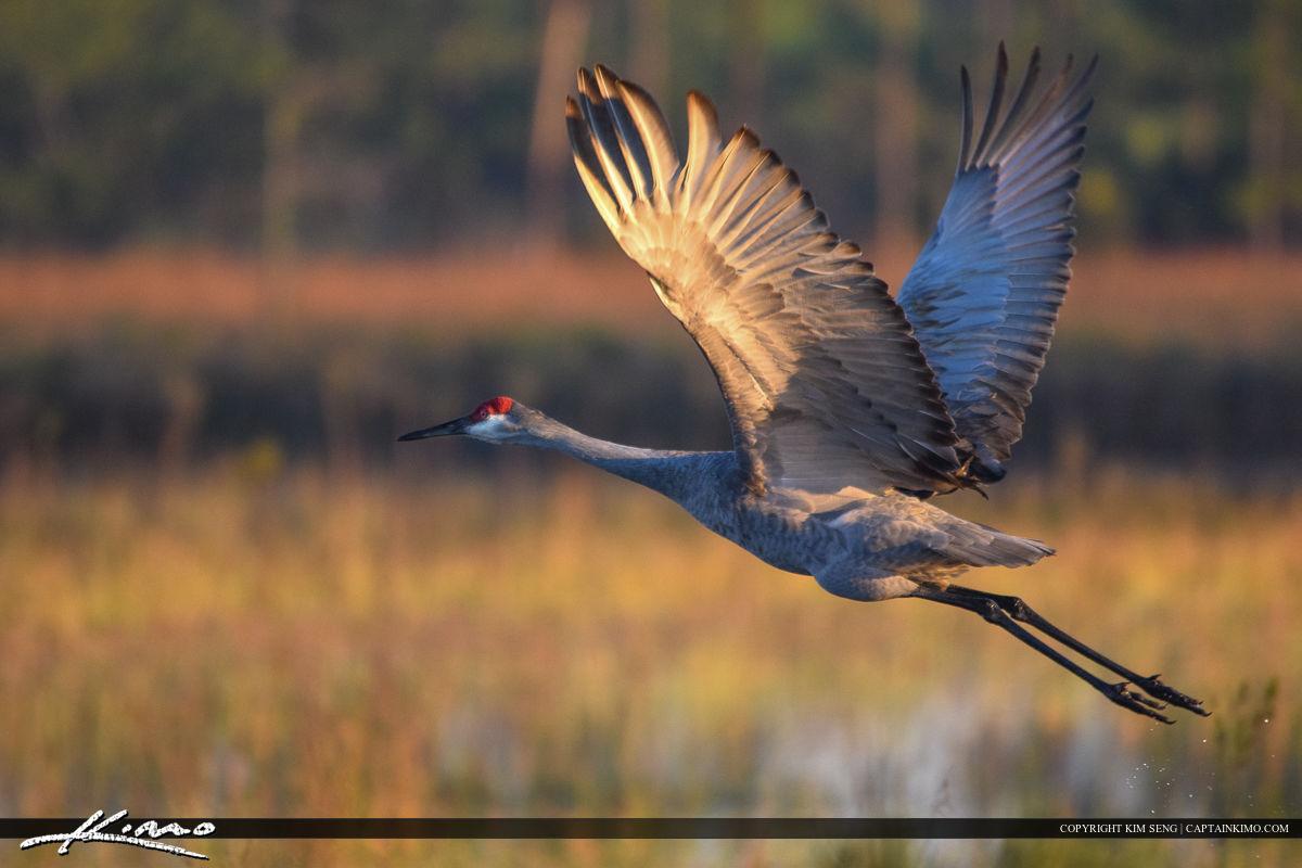 Sandhill Crane in Flight at Wetlands Bird Photography