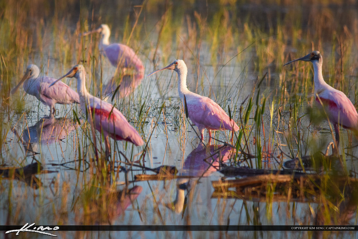 Flock of Pink Spoonbills at Wetlands Bird Photography