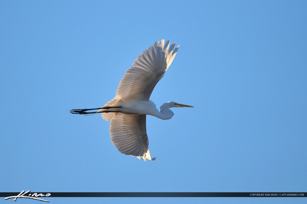 White Egret in Flight Bird Photography