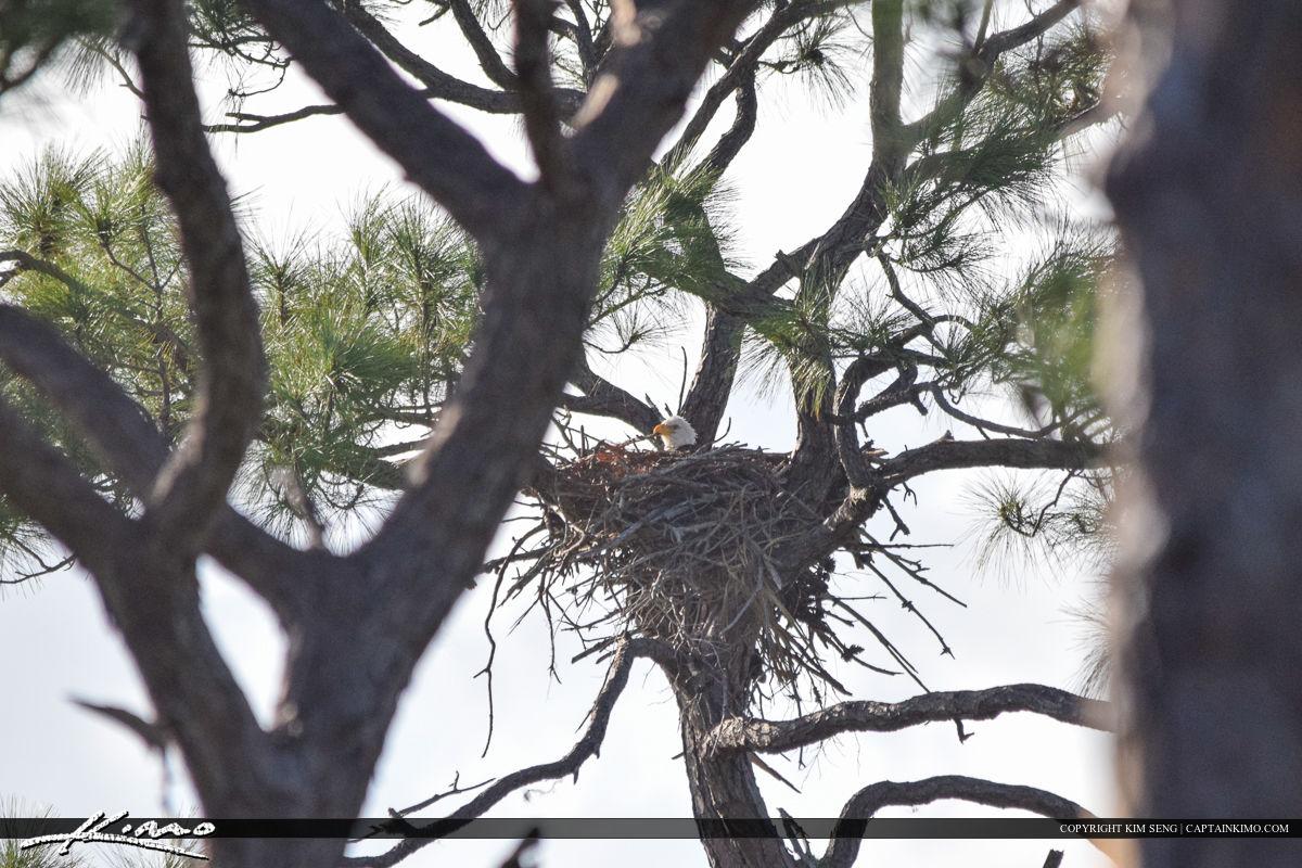 Eagle Nesting on Pine Tree Bird Photography
