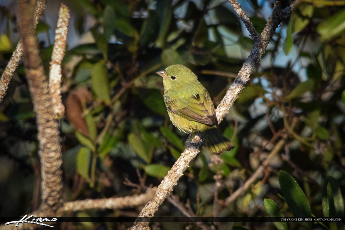 Female Bunting Green Bird Photography
