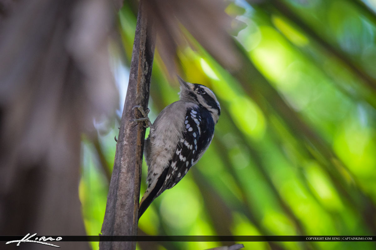 Black and White Woodpecker Bird Photography