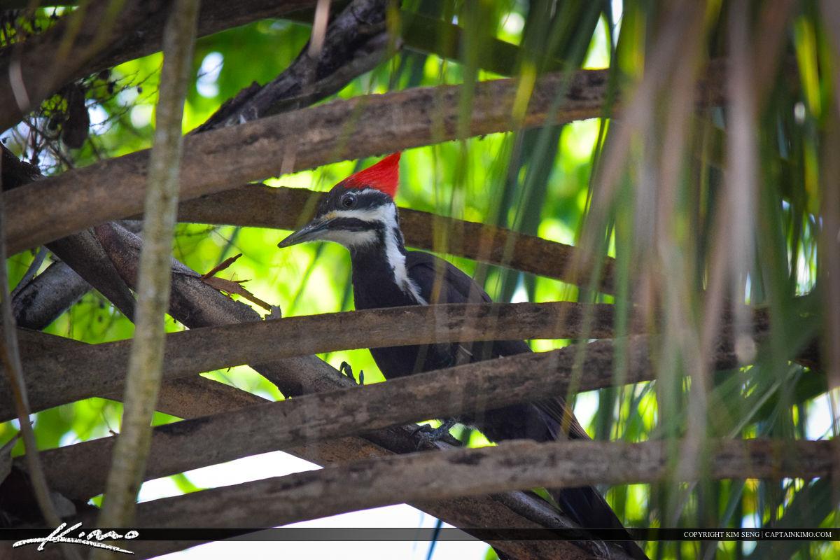 Pilated Woodpecker Bird Photography
