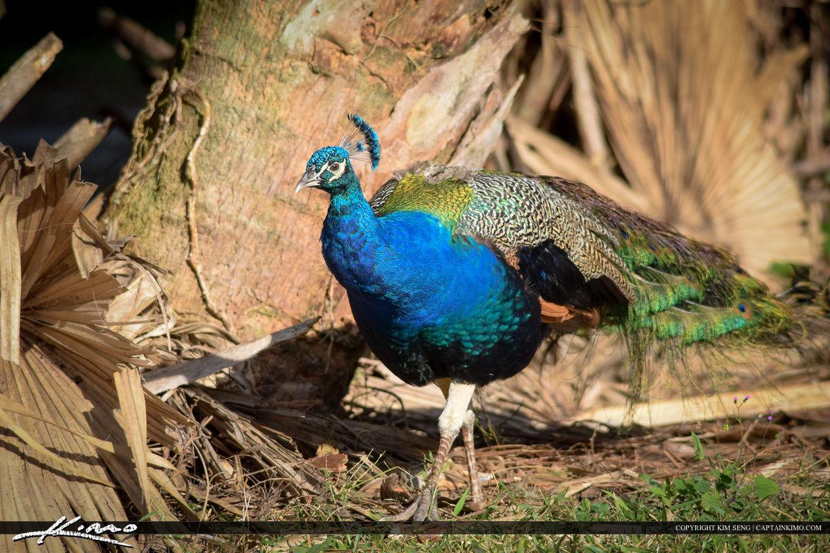 Peacock at Riverbend Bird Photography