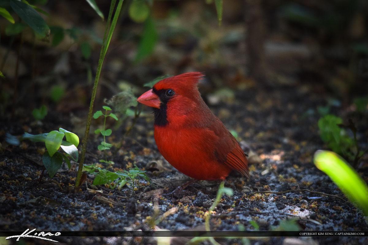 Cardinal on Ground Bird Photography