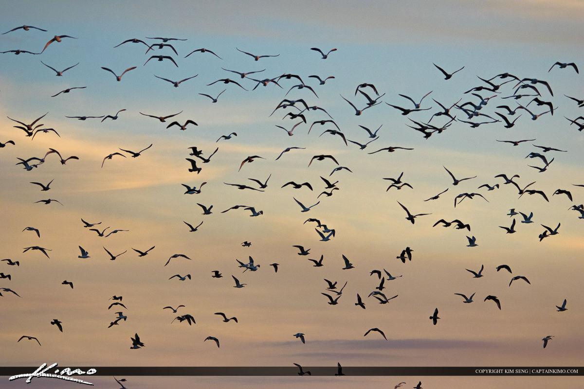Flocks of Seagulls Bird Photography