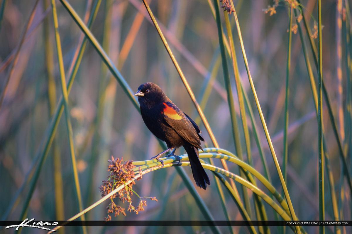 Red Wing Black Bird Bird Photography