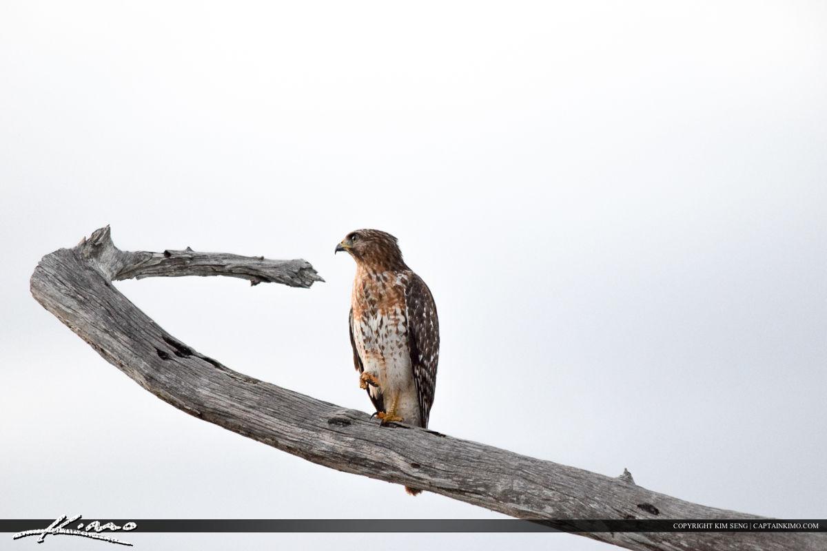 Hawk at the Watch Bird Photography