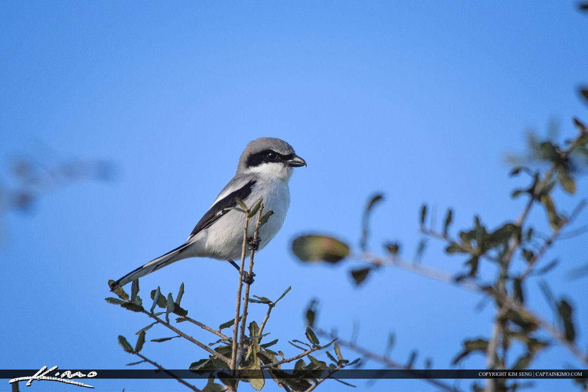 Shrike Perch on Branch Bird Photography