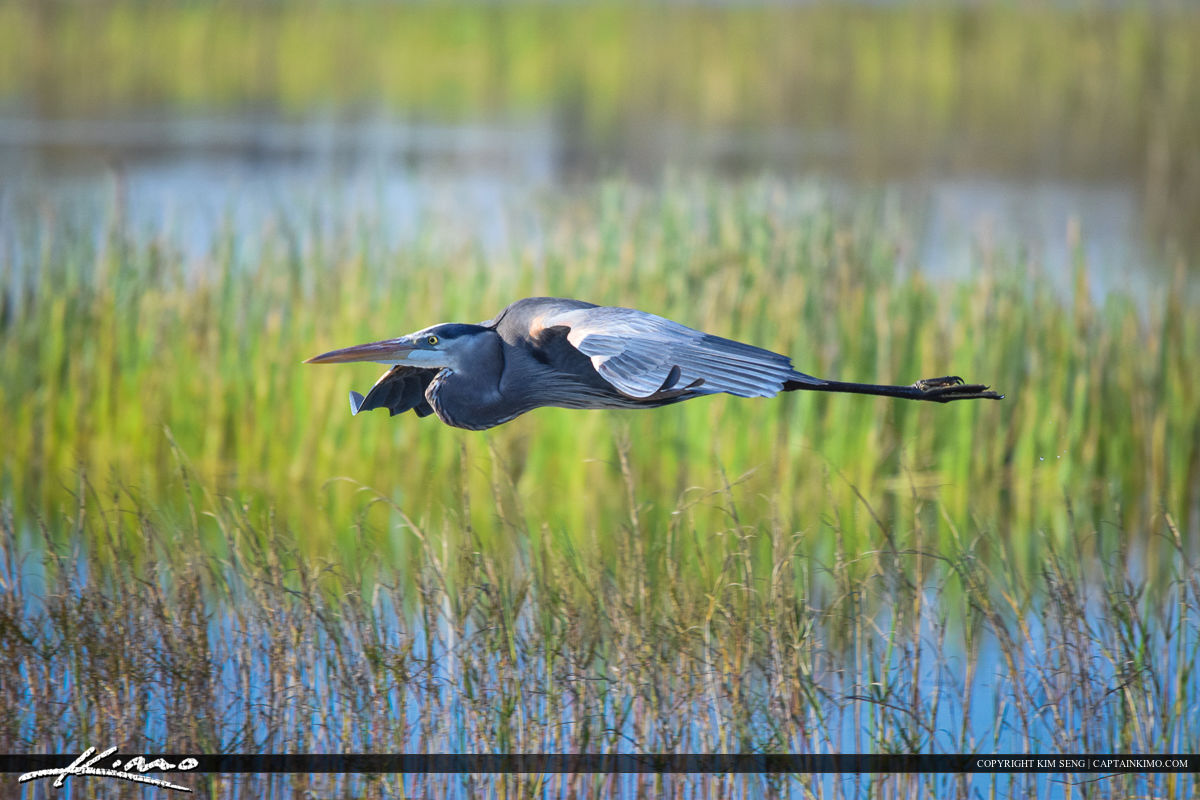 Blue Heron in Flight over Wetlands Bird Photography